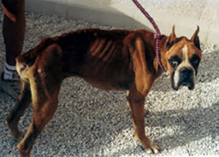Boxer abandonado por sus dueños y recogido por refugio; padece una muy considerable pérdida muscular, igual que otros animales abandonados y encontrados en similares condiciones.