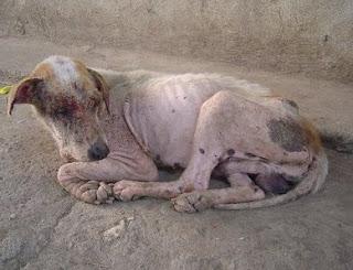 Muchos animales son abandonados por sus dueños ante una enfermedad inesperada. En la foto, perro con sarna abandonado.