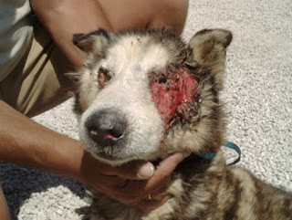 Algunos animales abandonados, como este cachorro, son encontrados con estados de salud deplorables o con importantes daños. Este cachorro presenta un serio daño en su cara, para mayor gravedad cerca de los ojos.
