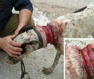 Galgo fotografiado en refugio. Fue rescatado con el cuello gravemente herido por un intento de ahorcamiento por parte de su dueño.